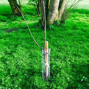 Sapling planted